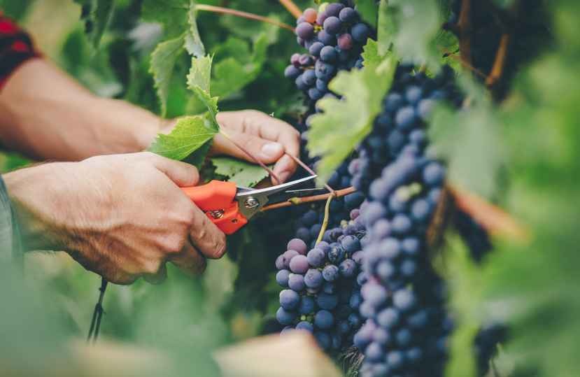 person cutting grapes from the vine
